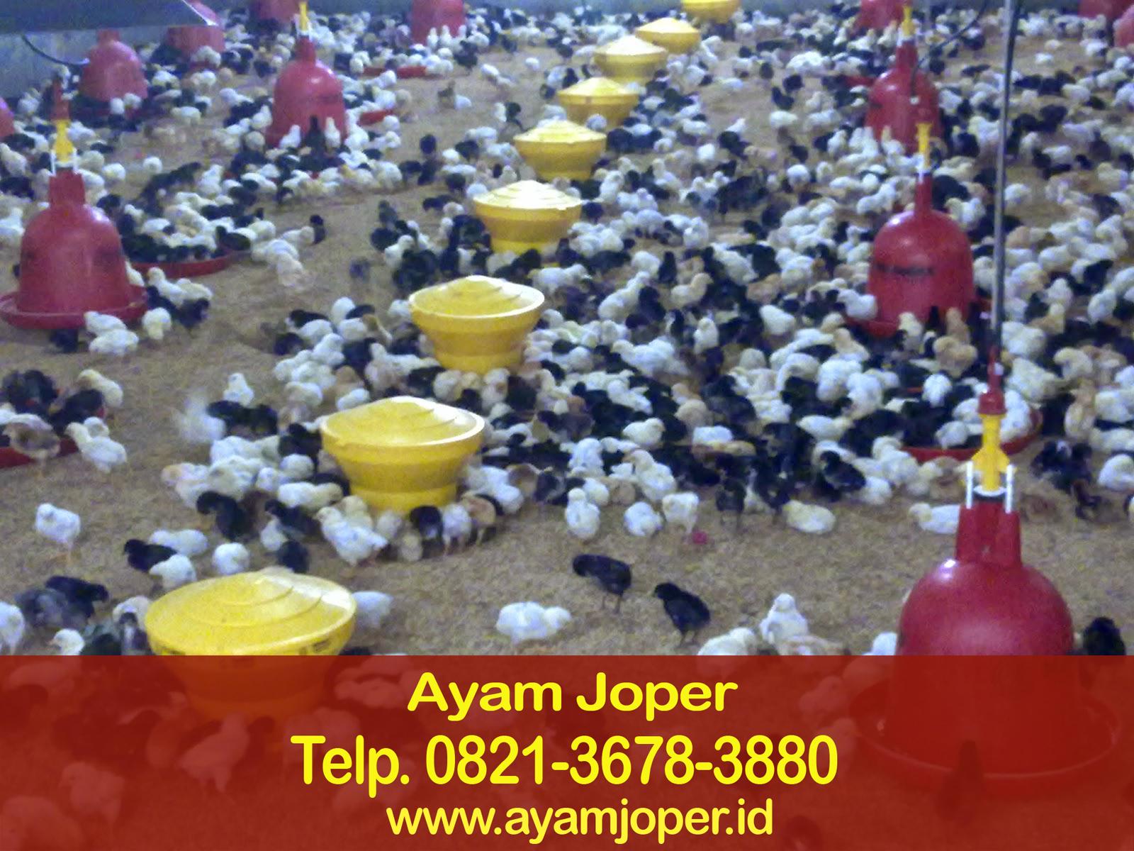 Cara Buat Indukan Ayam Joper – Jual Ayam Jawa Super Ternak